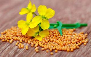 Улучшение почвы с помощью горчицы: когда и как сеять?
