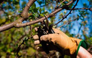Правила и сроки весенней обрезки плодовых деревьев