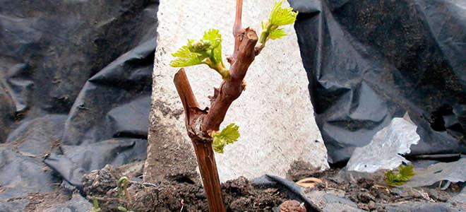 Как и когда пересаживать виноград: секреты успешной пересадки