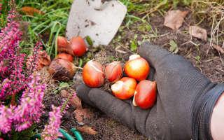 Правила и сроки посадки тюльпанов