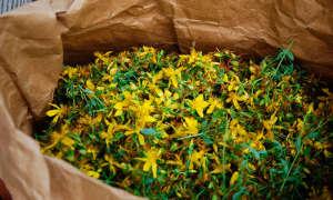 Трава зверобой — лечебные свойства и противопоказания к применению