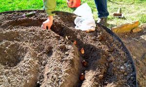 Осенняя посадка тюльпанов — сроки и подготовительные работы