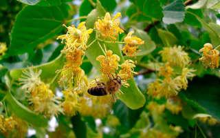 Когда и как цветет липа и чем полезны ее соцветия?