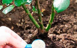 Особенности и сроки осеннего удобрения роз