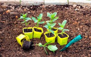 Правила и сроки выращивания рассады цинии