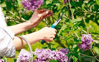 Правила обрезки сирени для обильного цветения