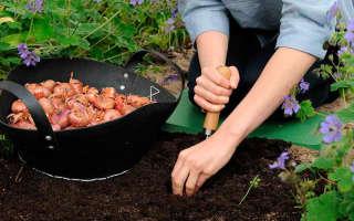 Весенняя посадка гладиолусов в открытый грунт