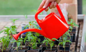 Перекись водорода для рассады и растений