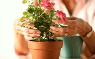 Правила ухода за комнатными розами