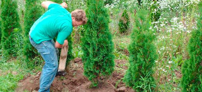 Когда сажать туи и как правильно ухаживать за растением?