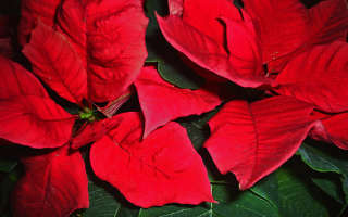 Как называется комнатный цветок с красными листьями?
