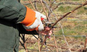 Особенности осенней обрезки винограда