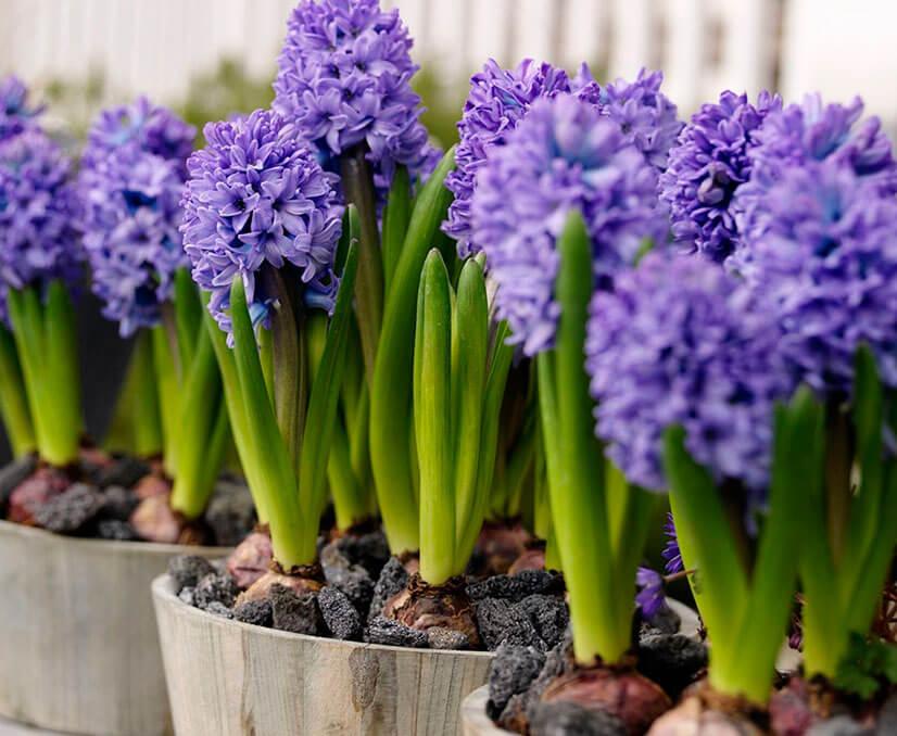 Магазин, купить осенние луковичные цветы почтой