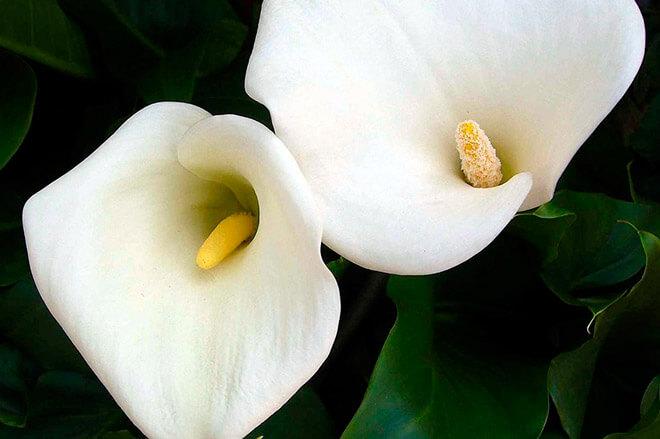 Каллы цветы значение