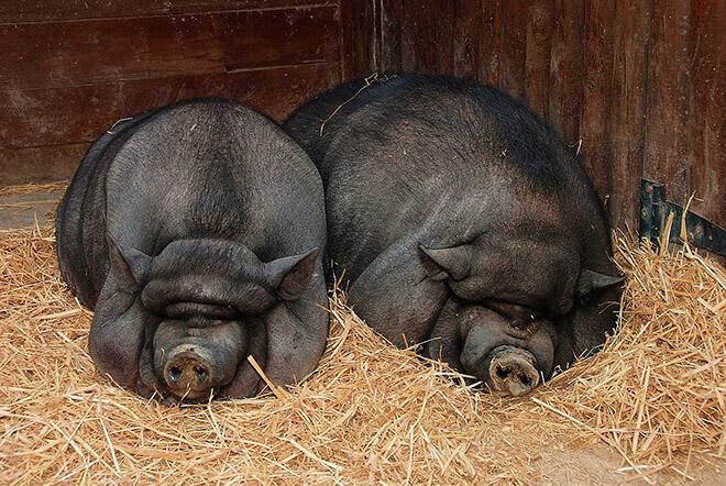 Рекомендации кормления свиней по сезонам