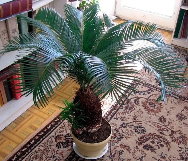 Цикас или саговая пальма