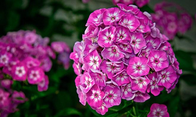 Цветы Флоксы описание