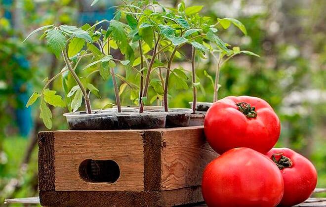 Севооборот помидоры после чего сажать