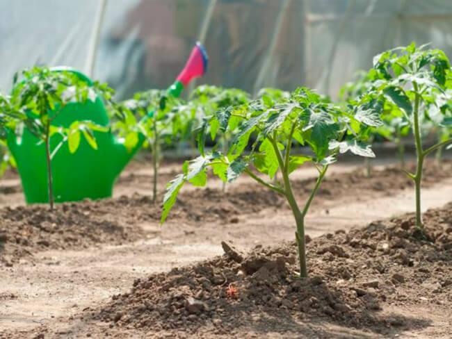 Какую рассаду нужно подкармливать?