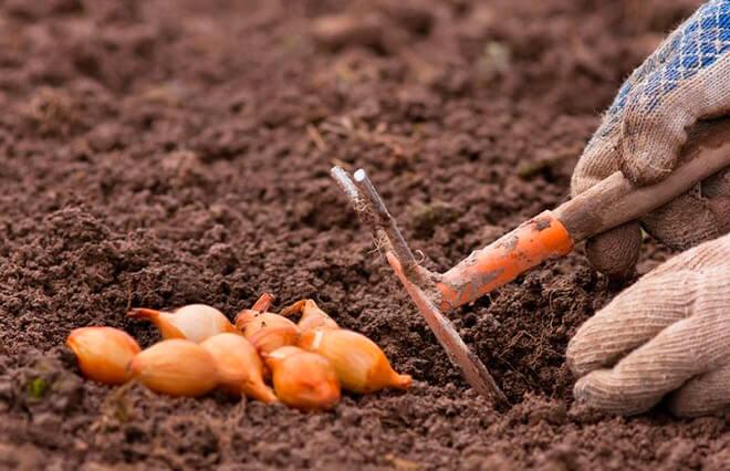 Преимущества посадки лука на зиму