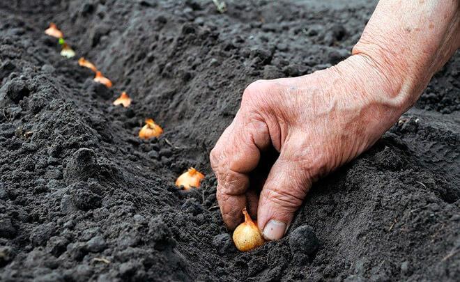 Сроки для посадки лука под зиму