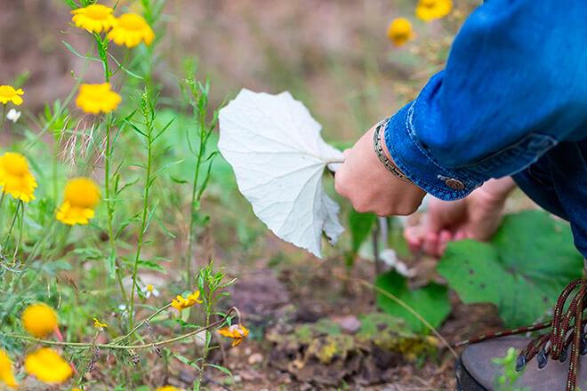 Мать-и-мачеха - описание растения