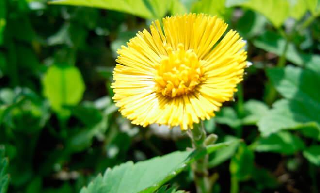 Условия выращивания лекарственного цветка