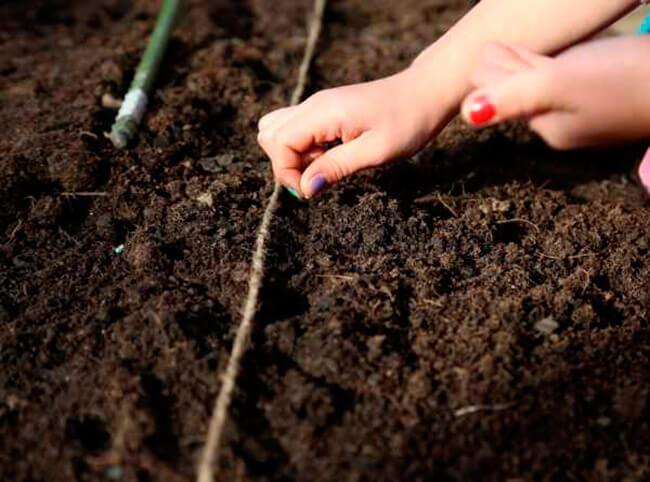 Посадка щавеля в открытый грунт семенами весной