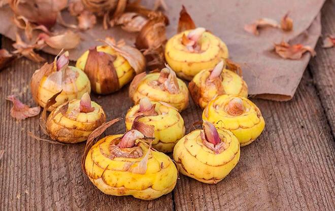 Луковицы гладиолусов: как хранить в домашних условиях зимой