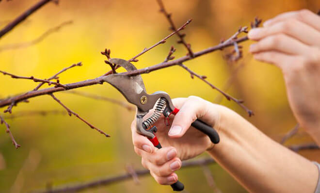 Обрезка вишневых деревьев