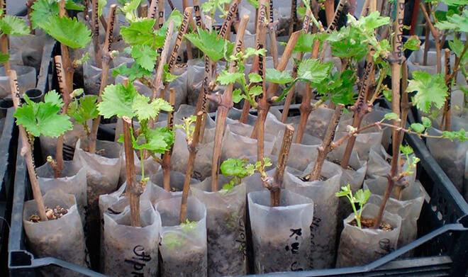 Когда лучше пересадить виноград весной или осенью