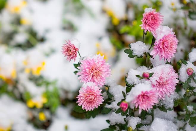 Как укрыть хризантемы на зиму?