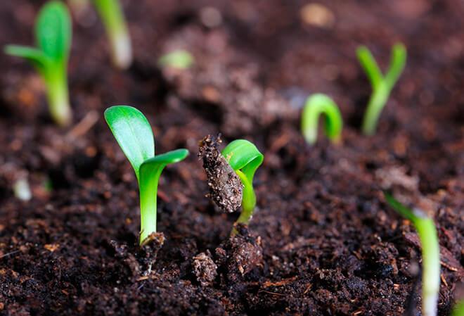 Как правильно сажать семена цветов в открытый грунт?